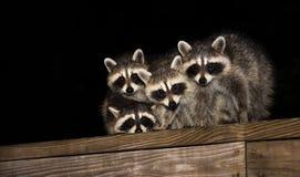 Cuatro mapaches lindos del bebé en una verja de la cubierta Foto de archivo libre de regalías