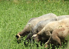 Cuatro ovejas que comen la hierba Fotos de archivo libres de regalías