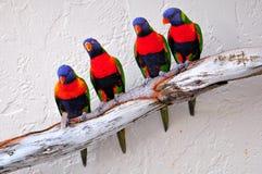 Cuatro pájaros de Lorikeet en rama Foto de archivo libre de regalías