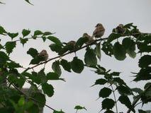 Cuatro pájaros que se sientan en una rama Foto de archivo libre de regalías