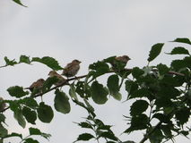 Cuatro pájaros que se sientan en una rama Fotografía de archivo