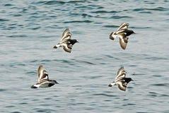 Cuatro pájaros que vuelan en la formación Imagenes de archivo