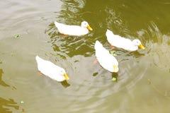Cuatro patos Imágenes de archivo libres de regalías
