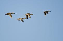 Cuatro patos que vuelan en un cielo azul Fotografía de archivo libre de regalías