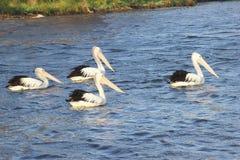 Cuatro pelícanos salvajes que nadan el río, Australia occidental Fotografía de archivo libre de regalías