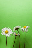 Cuatro pequeñas flores de la margarita en fondo texturizado verde claro Imagen de archivo