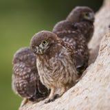 Cuatro pequeños búhos jovenes están en la cuesta imagen de archivo libre de regalías