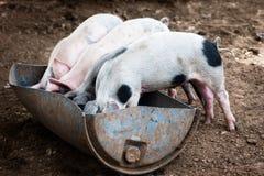 Cuatro pequeños cerdos Foto de archivo libre de regalías
