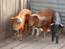 Cuatro pequeños cerdos Imagen de archivo