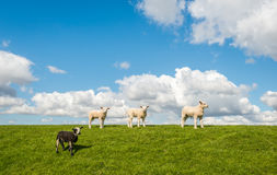 Cuatro pequeños corderos encima del dique Fotografía de archivo