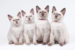 Cuatro pequeños gatitos tailandeses Imágenes de archivo libres de regalías