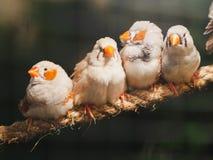 Cuatro pequeños pájaros que se sientan en la cuerda en fondo del bokeh Animal, pájaro, amor, concepto de familia imagenes de archivo