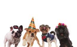 Cuatro pequeños perros lindos listos para un partido Fotos de archivo libres de regalías