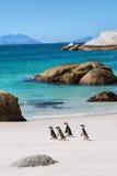 Cuatro pequeños pingüinos en la playa hermosa Fotos de archivo