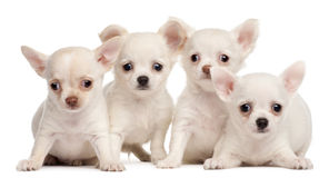 Cuatro perritos de la chihuahua, 2 meses Imagen de archivo libre de regalías