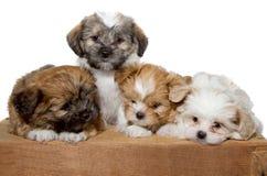 Cuatro perritos en un tablón de madera Fotografía de archivo libre de regalías