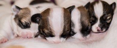 Cuatro perritos lindos de la chihuahua que amamantan a su madre Foto de archivo