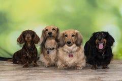Cuatro perros basset miniatura de pelo largo Imagen de archivo