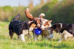 Cuatro perros de pastor australianos que luchan para una bola Foto de archivo