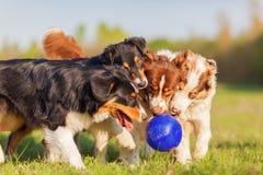 Cuatro perros de pastor australianos que luchan para una bola Foto de archivo libre de regalías