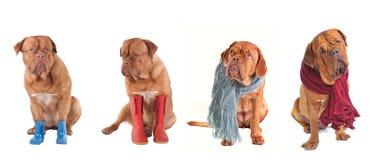 Cuatro perros vestidos que desgastan las bufandas y los cargadores del programa inicial Foto de archivo