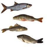 Cuatro pescados aislados foto de archivo