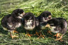 Cuatro pocos pollos en el césped en la granja fotografía de archivo