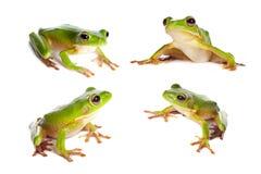 Cuatro ranas en blanco Fotos de archivo libres de regalías