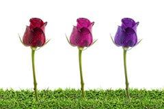 Cuatro rosas rojas en la hierba aislada en blanco, trayectoria de recortes incluida Foto de archivo libre de regalías