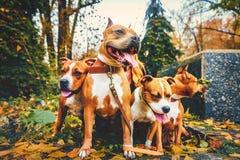 Cuatro terrieres de Staffordshire Perros de la familia de cuatro miembros que se sientan en naturaleza en otoño fotos de archivo