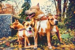 Cuatro terrieres de Staffordshire Perros de la familia de cuatro miembros que se sientan en naturaleza en otoño imagen de archivo