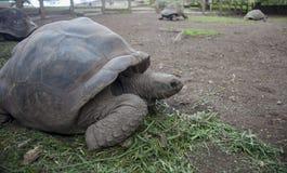 Cuatro tortugas gigantes en Mauritius Island Fotos de archivo libres de regalías
