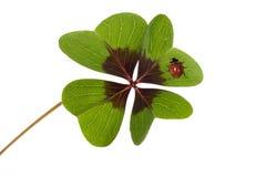Cuatro trébol y mariquita con hojas Imagen de archivo libre de regalías