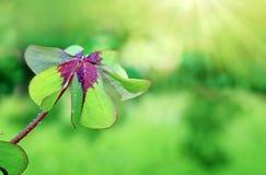 Cuatro tréboles de la hoja aislados en fondo verde Foto de archivo libre de regalías
