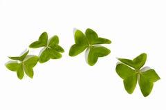 Cuatro tréboles verdes claros naturales en blanco Fotografía de archivo