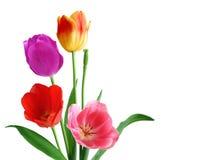 Cuatro tulipanes fotografía de archivo