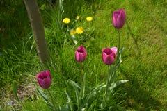 Cuatro tulipanes violetas en la sombra fresca de un pequeño manzano Foto de archivo