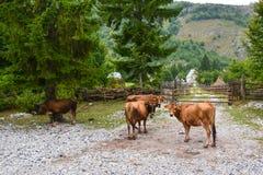 Cuatro vacas en un pueblo de montaña, mirando la cámara fotografía de archivo libre de regalías