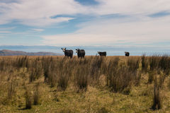 Cuatro vacas negras en prado Imágenes de archivo libres de regalías