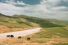 Cuatro vacas pastan cerca del camino rural en las montañas en el día brillante Imagen de archivo