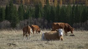Cuatro vacas pastan en un prado: tres vacas pellizcan la hierba, mentiras de una vaca almacen de metraje de vídeo