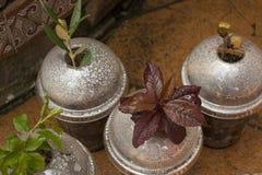 Cuatro variedades del árbol en propagadores hechos en casa del resbalón Fotografía de archivo