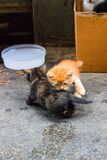 Cub猫使用与他们的尾巴的,嬉戏的Cub 免版税库存图片