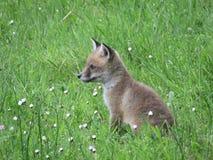 Cub αλεπούδων Στοκ Εικόνες