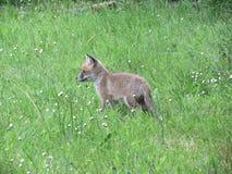 Cub αλεπούδων Στοκ φωτογραφίες με δικαίωμα ελεύθερης χρήσης