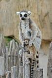cub δαχτυλίδι s της Μαδαγασκάρης κερκοπίθηκων που παρακολουθείται Στοκ φωτογραφία με δικαίωμα ελεύθερης χρήσης