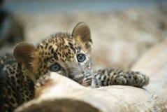 Cub λεοπαρδάλεων πορτρέτο Στοκ φωτογραφία με δικαίωμα ελεύθερης χρήσης