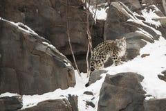 Cub λεοπαρδάλεων χιονιού που καλύπτεται ενάντια στο χιόνι και το βράχο Στοκ Φωτογραφίες