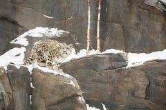 Cub λεοπαρδάλεων χιονιού που περπατά στο χιονώδη απότομο βράχο Στοκ Φωτογραφίες