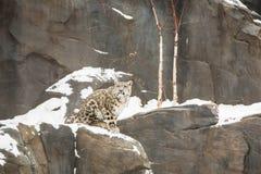 Cub λεοπαρδάλεων χιονιού συνεδρίαση στο χιονώδη απότομο βράχο Στοκ Φωτογραφία